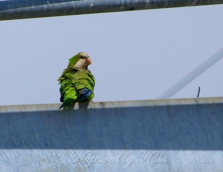 Quaker Parrot/Monk Parakeet  View 3 of 7