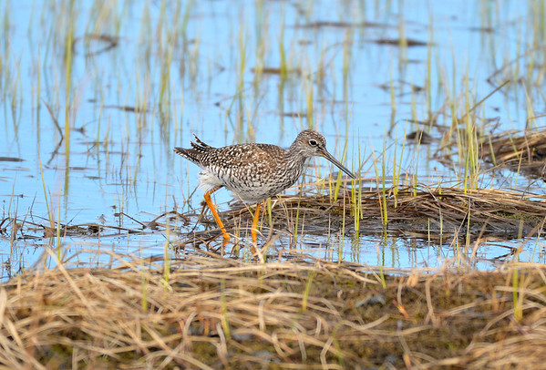 Greater Yellow Legs