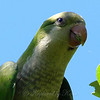Portrait Of A Monk Parakeet
