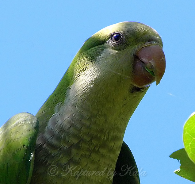 Portrait Of A Monk Parakeet