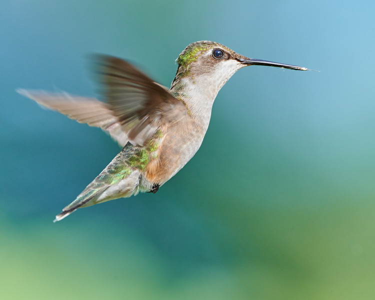 A Hummingbird Suspended in Air