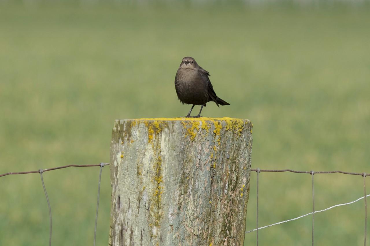 LBB   Little Black Bird