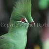 Tauraco persa – Guinea turaco 2