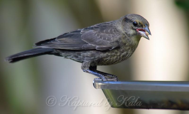 Baby Cowbird Finally Feeds Itself View 2