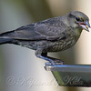 Baby Cowbird Finally Feeds Itself View 2