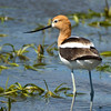 American Avocet - Whitewater Lake, Manitoba