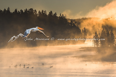 American White Pelican at Fishing Bridge