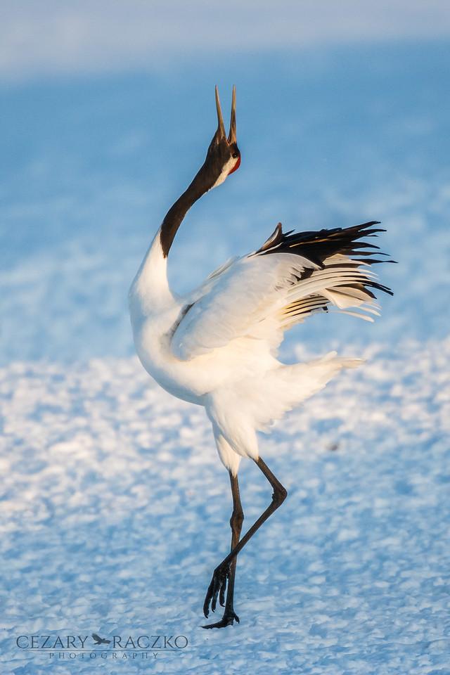 Elegant Dance, Red-crowned Crane (Grus japonensis)