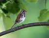 Song Sparrow.  Eaton Rapids, Michigan.  June, 2013 Nikon D800e, 300mm f4 w/TC-14eII, DX mode