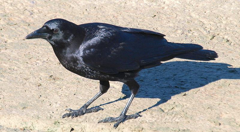 The Crow Below