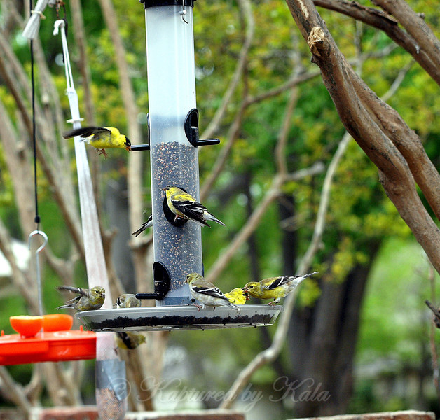 Have I Mentioned it Has Been a Really Good Year For Goldfinches?