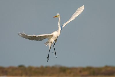Great Egret, Aransas Wildlife Refuge, Texas.