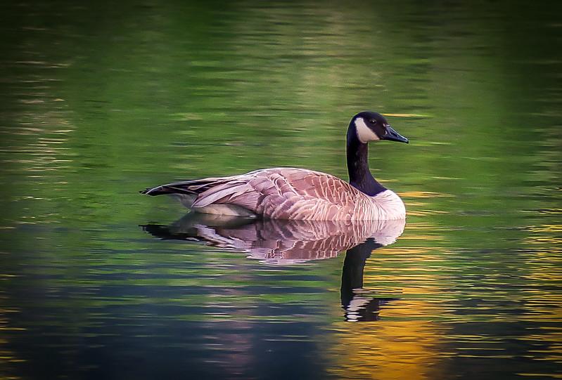 Solitary Swim