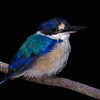 Forest Kingfisher,Currumbin Bird Pak,Gold Coast