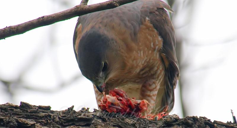 Mama Cooper's Hawk Enjoying Her Gift View 11