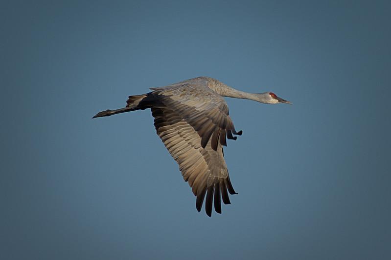 Single Sandhill Crane