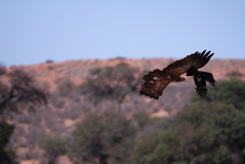 Tawny Eagle and Black crow