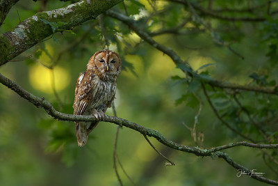 Tawny Owl, New Forest