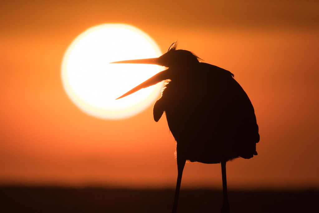 IMAGE: https://photos.smugmug.com/Birds/i-d87fhPC/0/XL/Orange%20Beach%2010092016-317-XL.jpg