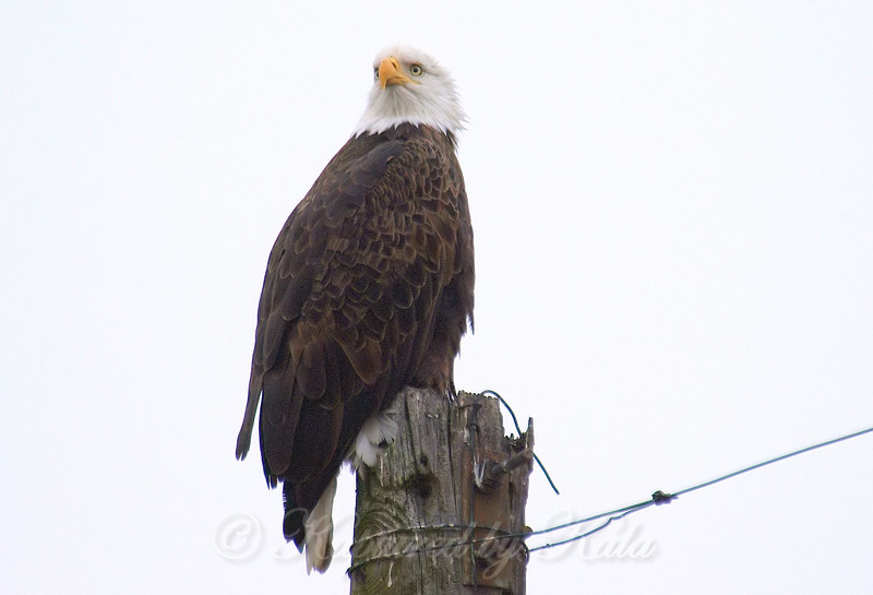 Being Ignored By A Bald Eagle