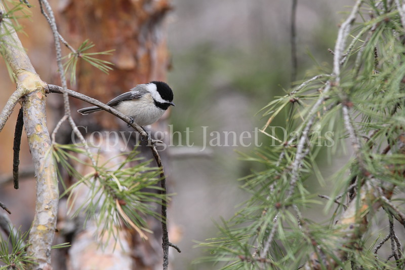 Poecile atricapillus – Black capped chickadee in pine