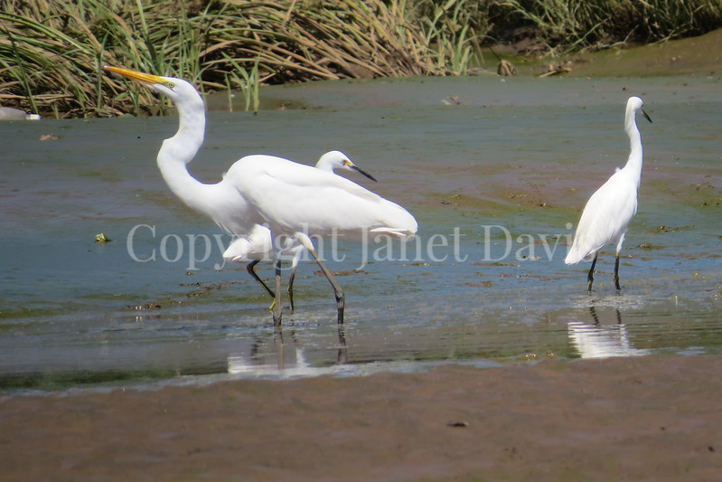 Ardea alba egretta – Great egret & Egretta thula – Snowy egret