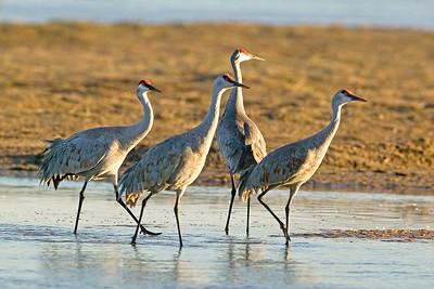 Sandhill Crane Quartet