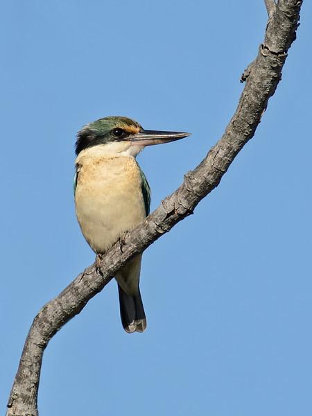 Sacred  Kingfisher, Federation Walk, Gold Coast. Qld.