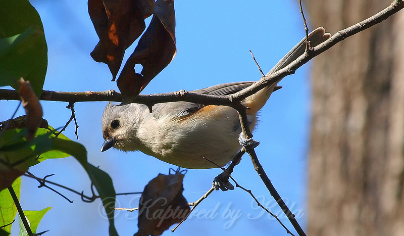 Hybrid  Titmouse Above My Head