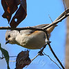 Tufted Titmouse Above My Head