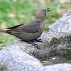 Female Brown-headed Cowbird At My Fountain
