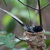 Madagascar Paradise Flycatcher (Terpsiphone mutata)