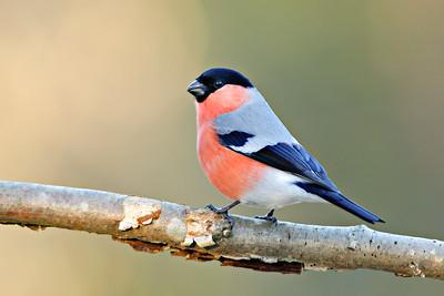 Bullfinch , Domherre
