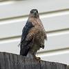 Windy Day Hawk 4
