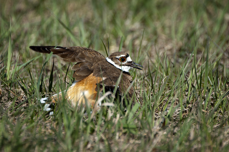Killdeer doing broken-wing display - Oak Hammock Marsh, Manitoba