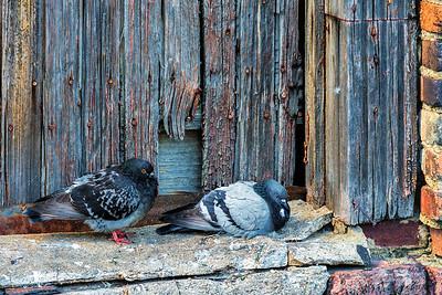 Nashville pigeons