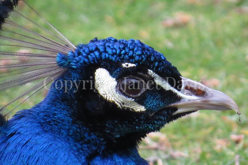 Pavo cristatus – Indian peacock closeup 1