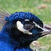 Pavo cristatus – Indian peacock closeup 1
