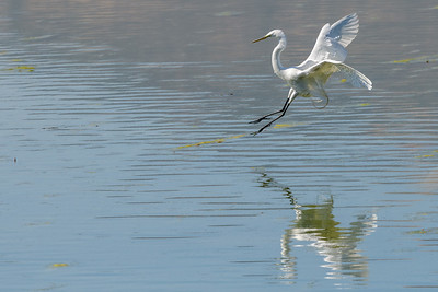 Great Egret, Landing