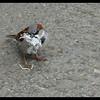 English House Sparrow (male)