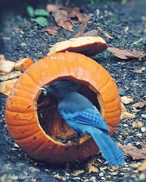 Steller's Jay Eating Pumpkin Seeds