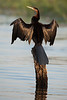 African Darter Drying Pose #1