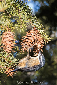 Red-breasted Nuthatch Working a Pine Cone