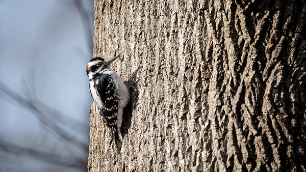 Male Hairy Woodpecker at Nottoway Park