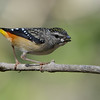 Female Spotted Pardalote (Pardalotus punctatus), Tallebudgeraba Creek, Burleigh Heads, Queensland.