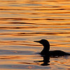 Loon at Sunset 6958p