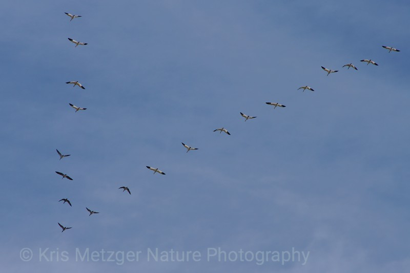 Snow geese flying in formation overhead. Bombay Hook National Wildlife Refuge, DE 11/2013