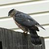 Windy Day Hawk 7