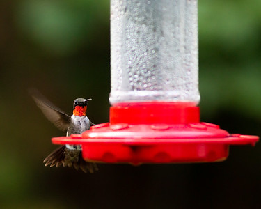 Ruby-throated Hummingbird in a Charlottesville Backyard