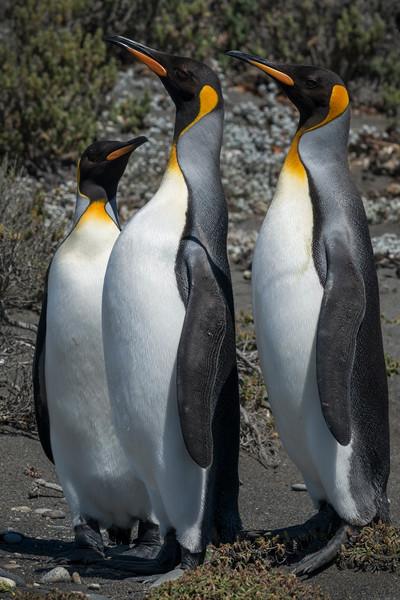 King Penguin Trio #1